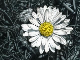 Daisy Japanese sumi ink & acrylic on canvas 50 x100 mm (19¾ x 39½ in) 2009